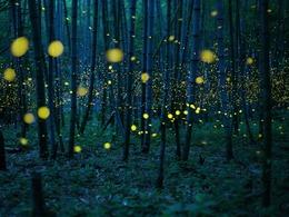 日本萤火虫演绎奇幻美景